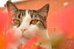 Lola (JulianGrim) Tags: flower cat photography eyes nikon chat foto flor picture gatos ojos gato desenfoque meow animales fotografia miau fotografa fotographie nikond3200 catto