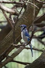 (LlewellynPhotography) Tags: bird nature wildlife bluejay nationalgeographic
