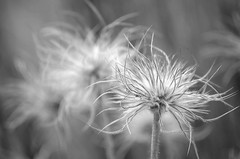 Monochrome Pasqueflower (Jayhawk Explorer) Tags: macro monochrome lawrence bokeh kansas wildflower pasqueflower universityofkansas douglascounty medicinalgarden monochromebokehthursday
