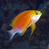 Makle Longfin Anthias