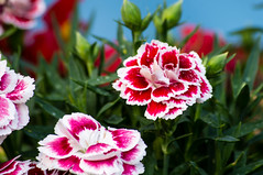 Sweet william (harmi2009) Tags: life pink flower nature hungary dof pentax budapest kr virg pentaxlife pentaxart