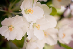 Lollipop Crabapple (StephanieMcArthur) Tags: flowers white tree nature floral blooms crabapple