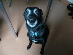 Max (Rayya The Vet) Tags: dog vet canine geriatric twitter whippetcross vetexam lumpcheck