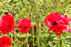 Red_red_poppies_