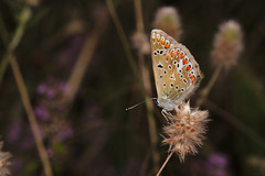 Common Blue (Jannis_V) Tags: commonblue hauhechelbluling schmetterling butterfly polyommatusicarus