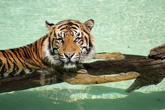 Cooling Off (greekgal.esm) Tags: sumatrantiger tiger bigcat cat feline animal mammal carnivore cj castrojr losangeleszoo lazoo losangeles griffithpark california sony a77m2 a77mii sal70300g pool water