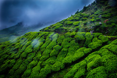 Tea Estate (Freddy Victor) Tags: teaestate green climate foggy weather pattern incredibleindia india traveldestination fog hill hillside valley vacation plantation scenic freddy victor