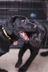 Mav 25 (Rohini Vatish) Tags: dog pet puppy cute animal canon photo photography portrait nature indoors 5dmk2 5dmkii 85mm bright summer playing playful