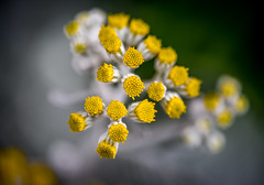 FlowerDome-OnlyWhiteNYellow (phrks) Tags: nikkor105mmf28gvrmicro nikkor 105mmf28 gvrmicro