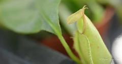 En flor-2 (GonzalezNovo) Tags: pwmelilla nepenthes plantacarnivora plantainsectivora nepenthesventricosa macrofotografía macro