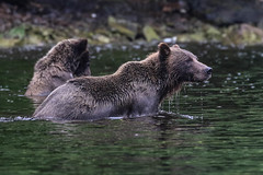 IMG_6606_1 (kalday) Tags: chichagofisland alaska pavlofriver brownbear grizzlybear kodiakbear