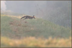 Misty Early Morning On Woodwalton Fen (Full Moon Images) Tags: woodwalton fen greatfen bcn wildlife trust nnr national nature reserve cambridgeshire animal mammal red fox early morning mist fog sunrise