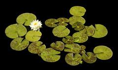 lily pads (eDDie_TK) Tags: colorado co denverco denver denverbotanicalgardens lily garden waterlily lilypads