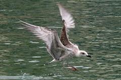 mouette (Knarfs1) Tags: mouette mwe meuw seagull hafen vogel bird