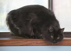 Cisco 021 (dblees) Tags: cat gato chat kitty  koka kat kissa katze gatto kot pisic maka katt  kedi con mo       gata