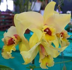 Slc. Coastal Sunrise Lemon Chiffon (Sylvio-Orqudeas) Tags: orqudeas orchids orchidaceae hbridos hybrids cattleya flores flowers
