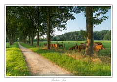 The brown (golden) cows. (Tom Baetens) Tags: 1835mm tombaetens belgium d610 landscape light nikon outdoor summer tree view walk