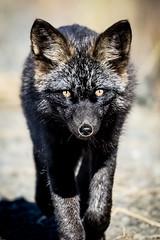 Black Fox (Loren Mooney) Tags: canid fox wildlife mammal blackfox nature outdoors yukonterritory dempsterhighway redfox wilderness animal canidscanidae foxes vulpes