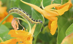 The Leap Of Faith (Glenda Hall) Tags: cabbagewhite caterpillar leaves nasturtiums flower september 2016 autumn bughunting castlecaulfield dungannon tyrone countytyrone northernireland ireland uk colour orange creepycrawley canon60d macrolens tamron90mm canon glendahall leapoffaith crawling faith salvation saved god christian bible lordjesuschrist saviour matthew19 allthingsarepossible inspiration
