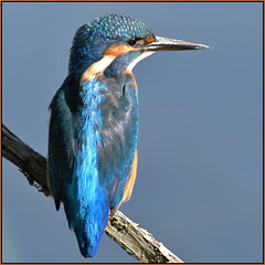 Kingfisher (image 1 of 2) (Full Moon Images) Tags: lackford lakes wildlife trust nature reserve bird kingfisher