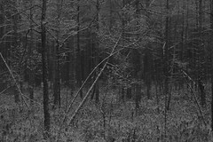 together (Mindaugas Buivydas) Tags: lietuva lithuania bw forest darkforest tree trees pine frost bog autumn fall november sadnature kairnmikas kairnaiforest composition shallowdepthoffield