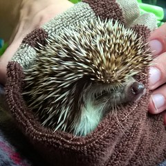 Snuggly Hedgehog! (Smile Moon) Tags: hedgehog spines prickly pointy echo