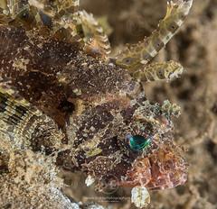 Shortfin lionfish on a coral (Arno Enzerink) Tags: loistosiipisimppu aquatic dendrochirusbrachypterus diving dwarf fin life lionfish marine marinelife ocean scuba sea shortfin shortfinlionfish stings underwater water camiguinisland philippines ph