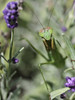 The Mantis Waits for a Butterfly (rivadock4) Tags: praying mantis butterfly flowers lavendar prayingmantis