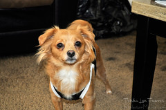 Mia02 (TrishaLyn) Tags: dogs animals pomeranian chihuahua pomchi pets