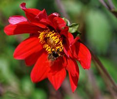 The Busy Bee (Malinki_Malinki) Tags: bee busybee pollen flower red yellow orange amber sting hairy stamen petals sonyalpha a900 dslra900 70300mm ssmg bokeh zoom sharp sharpness