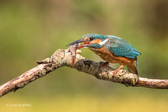 Kingfisher (Alcedo atthis) D75_5143.jpg (Mobile Lynn) Tags: people birds wild petewhieldon kingfisher nature aves bird chordata coraciiformes face faces fauna wildlife otterbourne england unitedkingdom gb coth specanimal greatphotographers coth5 ngc npc sunrays5