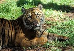Happy 1st Birthday, Suka! (greekgal.esm) Tags: sumatrantiger tiger bigcat cat feline animal mammal carnivore suka sandiegozoo safaripark sandiegozooglobal endextinction escondido california sony a77m2 a77mii sal70300g globaltigerday