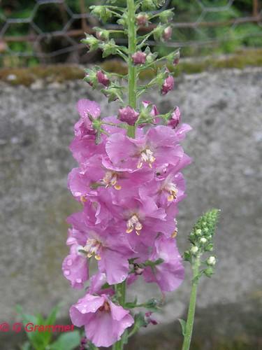 Verbascum-ph.-'rosetta'1