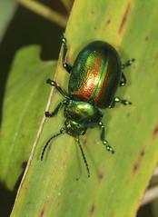 Tansy Beetle - Chrysolina graminis (Prank F) Tags: woodwaltonfen greatfen wildlifetrust huntingdonuk wildlife nature insect macro closeup beetle leaf tansy chrysolinagraminis