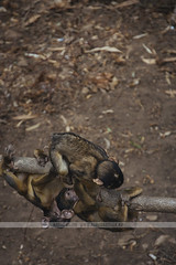 Baby Barbary macaques in Gibraltar (Naomi Rahim (thanks for 2 million hits)) Tags: gibraltar uk rockofgibraltar unitedkingdom nature travel travelphotography nikon nikond7200 wanderlust monkey monkeys barbarymacaque animal babies babymonkey playing