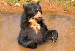 Picture of a bear in water (Tony Worrall) Tags: picture bear water cumbria zoo beasts animals wild fun visit tour cumberland park sunlit cute animal collection southlakessafarizoo south lakes safari conservation daltoninfurness dalton beast creature wet bath pool funny bears furry