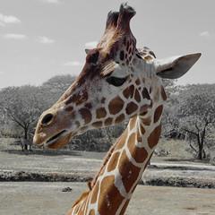 ...that is a question (kud4ipad) Tags: miami zoo 2013 giraffe