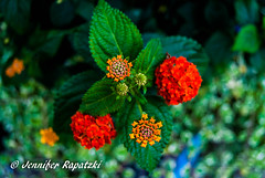 Lantana camara in red (Bernsteindrache7) Tags: autumn sony alpha 100 flora fauna flower bloom blossom blume red landscape outdoor city green