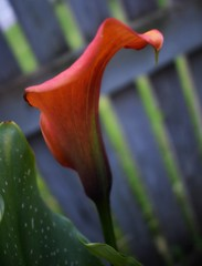 Calla Lily (Bebopgirl1969) Tags: callalily orange flower garden
