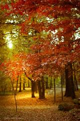 colors of autumn (darioD2) Tags: dslr d3100 dario nikon nikkor nature lights leaves autuno autumn sunrays tree woods