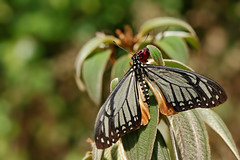 Papilio agestor 20160423_120246ssp. agestor - 20160423_120246Doi Lang_2016-04-23_460_DxO (Jan F. Rasmussen - love comments but delete awards) Tags: papilioagestorsspagestor papilioagestor papilio thailand d800 macro closeup insecta nikon janfischerrasmussen janfrasmussen asia southeastasia chiangmai rhopalocera insects pterygota arthropoda lepidoptera papilionidae papilioninae mime tawnymime swallowtail svalehale mimicry