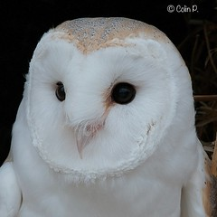 Barn Owl (Tyto alba) Explore 31st March #221 (Col-Page) Tags: