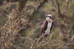 Osprey (Ben Locke (Ben909)) Tags: wild bird nature wildlife somerset osprey blagdon