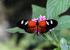 Doris Longwing (**El-Len**) Tags: usa butterfly us florida fav10 dorislongwing fav25 heliconiusdoris