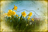 Breath of Spring (Imagemakercan - The Lensdancer) Tags: flowers yellow spring daffodils theawardtree lensdancerstudios ©joygerow2013