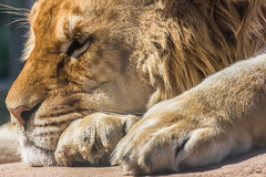 Lion at rest (masdamb) Tags: animals lion leone animali 550d tamron70300f456vcusd