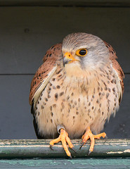 Torenvalk (Jan Visser Renkum) Tags: kestrel falcotinnunculus torenvalk commonkestrel
