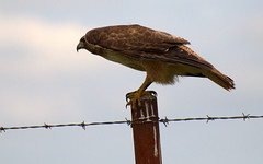 Red-tailed Hawk (hharryus) Tags: bird nikon hawk flight raptor perch predator claws redtail photgraphy redtailedhawk buteojamaicensis fenceposts talons d90 stocky