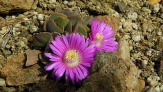 Aloinopsis spathulata 100_0101
