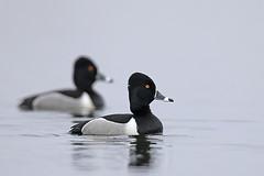 Ring-necked Drakes (Dean Pearson) Tags: southdakota neck ducks ring migration waterfowl ringnecked ringneckedducks blackjacks
